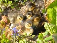 Entennachwuchs im Garten